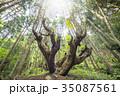 光を受ける株杉の森 35087561