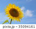 ひまわり 35094161
