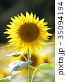 ひまわり 向日葵 夏の写真 35094194