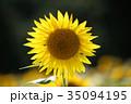 ひまわり 35094195