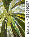 Beautiful beech canopy 35099297