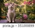 弓 ねこ ネコの写真 35100899