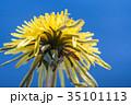 タンポポ 雑草 黄色の写真 35101113