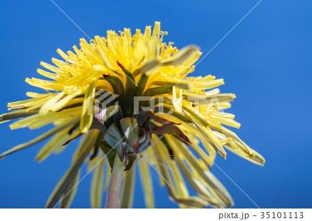 タンポポの花 35101113