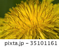 タンポポ 雑草 黄色の写真 35101161