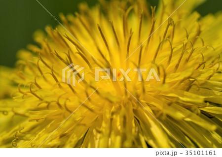 タンポポの花 35101161