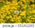 ラナンキュラス タンポポ 雑草の写真 35101203