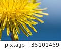タンポポ 雑草 黄色の写真 35101469