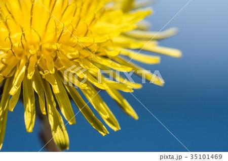 タンポポの花 35101469