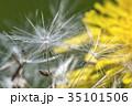 タンポポ 雑草 黄色の写真 35101506