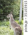 かわいいハイイロカンガルーの横顔 35103915