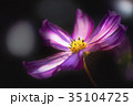 コスモス 花 植物の写真 35104725