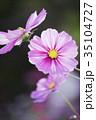 コスモス 花 植物の写真 35104727