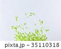 豆苗 発芽 大豆の写真 35110318