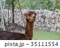 アルパカ 動物 哺乳類の写真 35111554