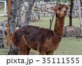 アルパカ 動物 哺乳類の写真 35111555