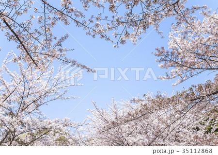 満開の桜の枝越しに青空を見る 35112868