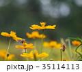 コスモス キバナコスモス 花の写真 35114113