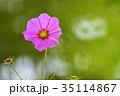 コスモス 秋桜 花の写真 35114867