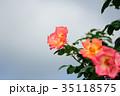 花 薔薇 バラ科の写真 35118575