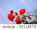 花 薔薇 バラ科の写真 35118579
