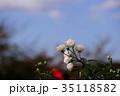 花 薔薇 バラ科の写真 35118582