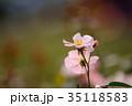 花 薔薇 バラ科の写真 35118583