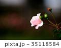 花 薔薇 バラ科の写真 35118584