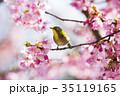 桜とメジロ 35119165