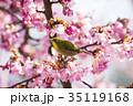 桜とメジロ 35119168
