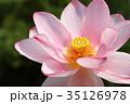 ハスの花 35126978