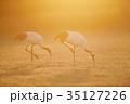 逆光の朝日で輝くタンチョウのペア(北海道・鶴居) 35127226
