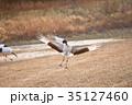 タンチョウの飛来(北海道・鶴居村) 35127460