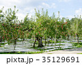 りんご 林檎 農業の写真 35129691