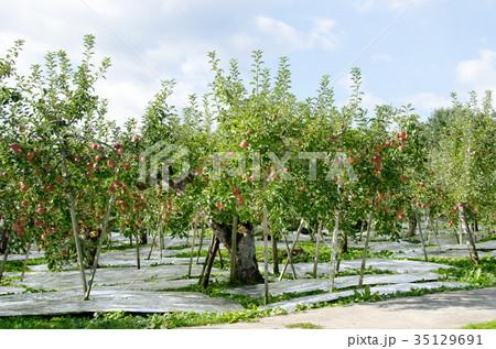 りんご 収穫 農業 農園 木 農作業 35129691