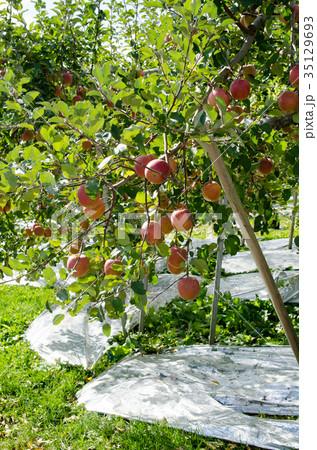 りんご 収穫 農業 農園 木 農作業 35129693