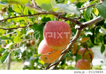 りんご 収穫 農業 農園 木 農作業 35129694