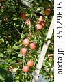 りんご 林檎 農業の写真 35129695