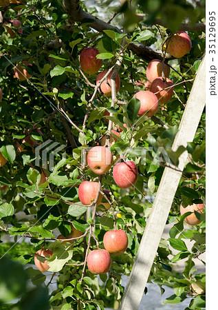 りんご 収穫 農業 農園 木 農作業 35129695