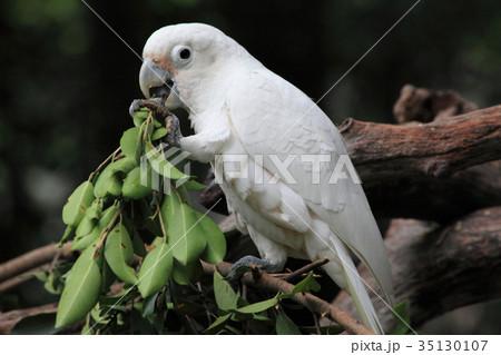 greedy white parrot in Guangzhouの写真素材 [35130107] - PIXTA