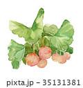 イチョウ ギンナン 水彩画のイラスト 35131381