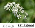 花 韮 ユリ科の写真 35136906