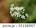 花 韮 ユリ科の写真 35136907