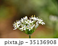 花 韮 ユリ科の写真 35136908