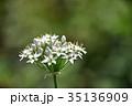 花 韮 ユリ科の写真 35136909