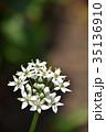 花 韮 ユリ科の写真 35136910