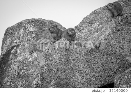 rock dassies sitting on rocks の写真素材 35140000 pixta