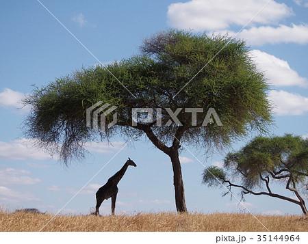 木 アカシア の