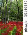 巾着田 花 彼岸花の写真 35149589