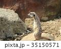 ミーアキャット 動物 35150571